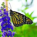 A Beautiful Monarch by Jeff Swan
