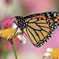 A Beautiful Monarch by Paul Ranky