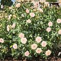 A Beautiful Rose Bush Castle Park 6 by Valdis Veinbergs
