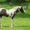 A Beautiful Young Gypsy Vanner Standing In The Pasture by Rusty R Smith
