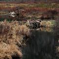 A Beaver's Work by Skip Willits