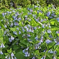 A Bed Of Bluebells by Lawrence Golla