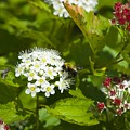 A Bee And A Fly Meet On A Flower by Hella Buchheim