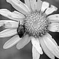 A Beetle And A Daisy  by Rachel Morrison