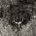 A Big Buck In Rut by John Harmon
