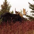 A Big Fierce-eyed Bull Moose by William Tasker