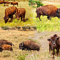 A Bison Collage by John M Bailey