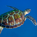 A Black Sea Turtle Off The Coast by Michael Wood
