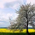 A Blooming Tree In A Rapeseed Field by Camelia C