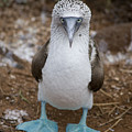 A Blue Footed Booby Looks At The Camera by Stephen St John