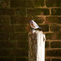 A Bluebird At The Governor's Palace Gardens by Rachel Morrison