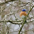 A Bluebird  by Rachel Morrison