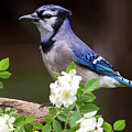 A Bluejay Bouquet by Andy Favors
