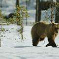 A Brown Bear Ursus Arctos Walks by Mattias Klum