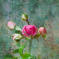 A Bud - A Rose by Marie Jamieson