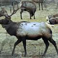 A Bull Elk  by Jeff Swan