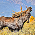 A Bull Moose Doing What A Bull Moose Does by Don Mercer