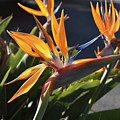 A Bunch Of Bird Of Paradise Flowers Bloomed  by DejaVu Designs