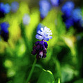 A Bunch Of Flowering Two-tone Grape Hyacinths, No.2. by Phill Thornton