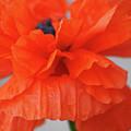A Burns Poppy by Marie Lassell