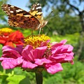 A Butterfly On The Pink Zinnia by Ausra Huntington nee Paulauskaite