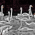 A Cacophony Of Swans by Chris Lord