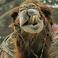 A Camel Displays Its Teeth by Tim Laman