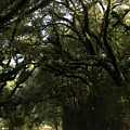 A Canopy Of Trees by Kathy Kirkland