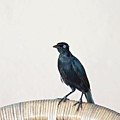 A Carib Grackle (quiscalus Lugubris) On by John Edwards