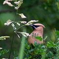 A Cedar Waxwing Facing Left by Ben Upham III