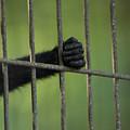 A Celebes Macaque Macaca Nigra Holds by Joel Sartore