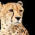 A Cheetah Named Jason by Christopher Miles Carter