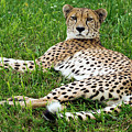 A Cheetah Resting On The Grass by Kenneth Lempert