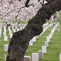 A Cherry Tree In Arlington National Cemetery by Tim Grams