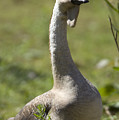 A Chinese Goose Anser Cygnoides At Zoo by Joel Sartore