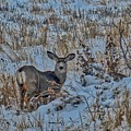 A Christmas Day Young Buck by James Stewart