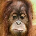 A Close Portrait Of A Sad Young Orangutan by Derrick Neill