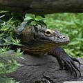 A Close Up Look At A Komodo Dragon Lizard by DejaVu Designs