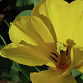 A Close Up Look At A Yellow Flowering Tulip Blossom by DejaVu Designs