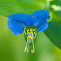 A Close-up Of A Bright Blue Flower by Joel Sartore
