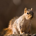 A Close-up Of A Fox Squirrel Sciurus by Joel Sartore