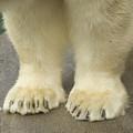 A Close-up Of A Juvenile Polar Bear by Joel Sartore