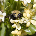 A Close View Of A Bumblebee Pollinating by Stephen St. John