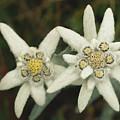 A Close View Of An Edelweiss Flower by Norbert Rosing