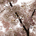 A Cloud Of Pastel Pink Cherry Blossoms Celebrating The Arrival Of Spring  by Georgia Mizuleva