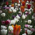 A Cluster Of Tulips by Deborah Klubertanz