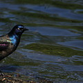 A Common Grackle by Karol Livote
