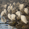A Congregation Of Egrets by Bruce Frye