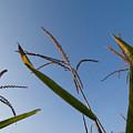 A Corn Field At The Historic Waveland by Joel Sartore