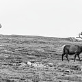 A Couple Elk  by John McGraw